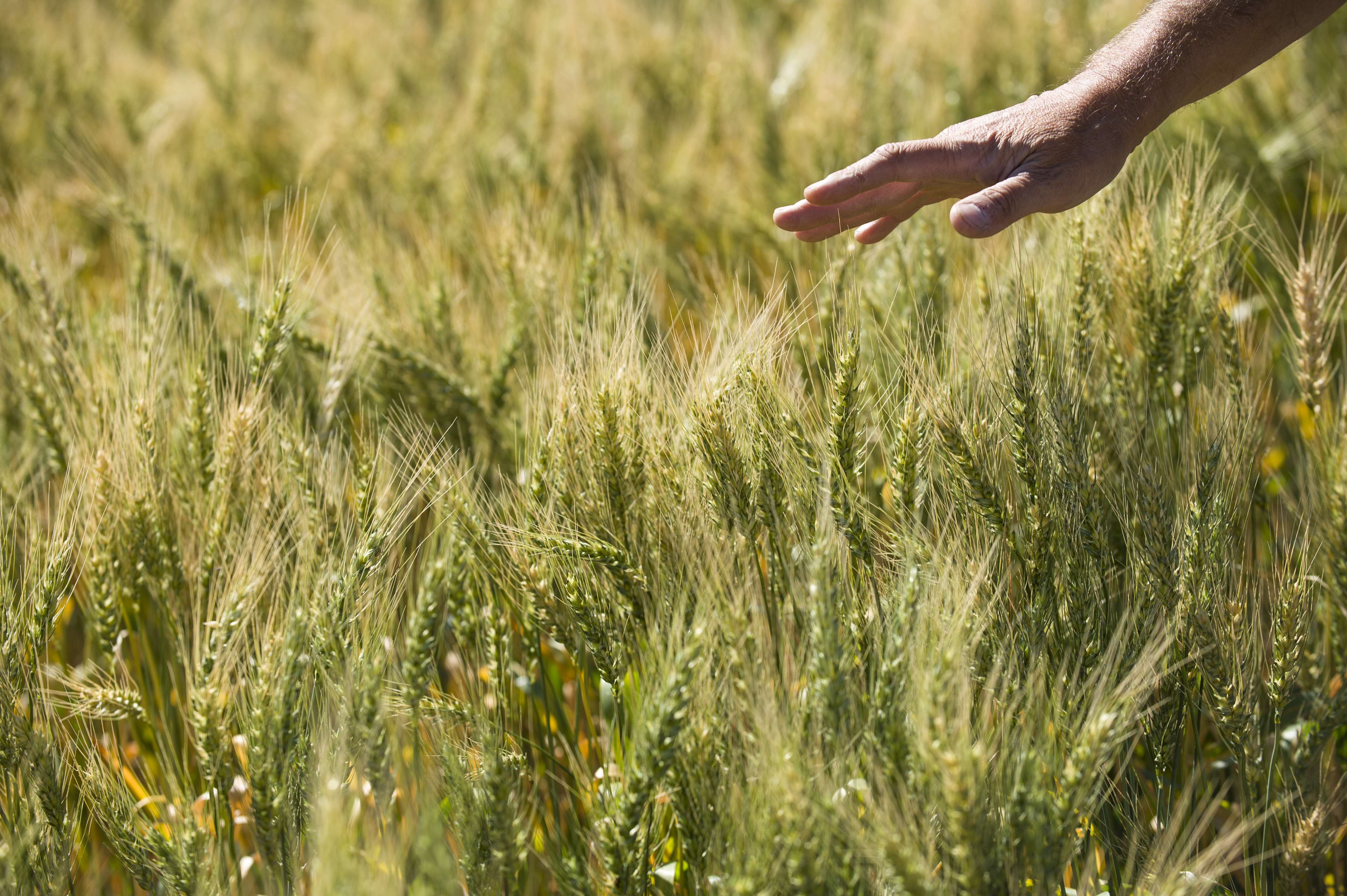 hand in wheat